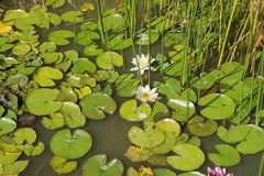 Blooming white lilies in the water. stock photography