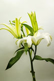 Blooming White Lily. With blurred background Royalty Free Stock Photo