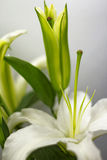 Blooming White Lily. With blurred background Stock Photos