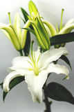 Blooming White Lily. With blurred background Stock Photography