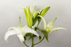 Blooming White Lily. With blurred background Stock Image