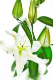 Blooming white lily closeup on white background Stock Photos