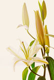 Blooming white lily closeup on white background Royalty Free Stock Photos