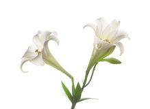Blooming white lily on the white backgroup Royalty Free Stock Image