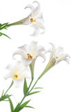 Blooming white lily on the white backgroup Royalty Free Stock Photography