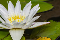 Blooming white lotus flower Stock Photography