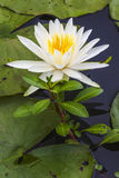 Blooming White Lotus Flower. A white lotus flower is in bloom among lilly pads royalty free stock image