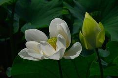 Blooming white lotus flower, Kyoto Japan. Stock Image