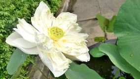 Blooming White Lotus in tropical garden Stock Photos