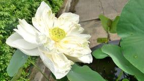 Blooming White Lotus in tropical garden Stock Photos