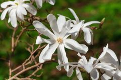 Blooming white Magnolia Stellata in the garden. Blooming white Magnolia Stellata in the garden in the spring Royalty Free Stock Photography