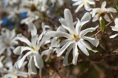 Blooming white Magnolia Stellata in the garden. Blooming white Magnolia Stellata in the garden in the spring Royalty Free Stock Image