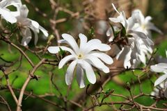 Blooming white Magnolia Stellata in the garden. Blooming white Magnolia Stellata in the garden in the spring Stock Photo