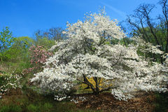 Blooming white magnolia tree Royalty Free Stock Images