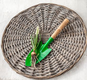 Blooming white muscari on a shovel with roots Stock Photo