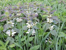 Blooming white nettle plant Stock Image