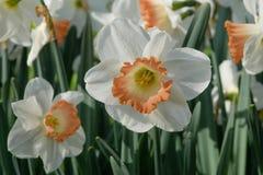 Blooming white-orange narcissus Pink Charm in Keukenhof, Netherlands. Rare variety. Royalty Free Stock Images