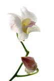 Blooming white orchid Royalty Free Stock Images