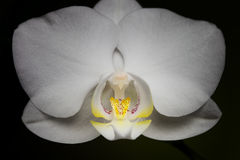 White orchid flower on dark background Royalty Free Stock Images