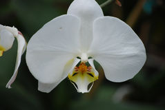 Blooming White Orchid Flower Blossom Up Close Stock Image