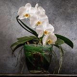 Blooming white orchid in a transparent pot. Beautiful indoor flowers royalty free stock photography