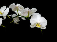 Blooming white orchids on a black background Royalty Free Stock Images