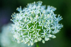 Blooming white ornamental onion Allium at blurred background garden. Royalty Free Stock Image