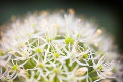 Blooming white ornamental onion (Allium) Stock Photo