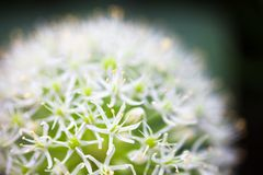 Blooming white ornamental onion (Allium) Royalty Free Stock Image