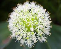 Blooming white ornamental onion (Allium) Stock Photos