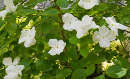 Blooming White Pacific Dogwood Flowers Royalty Free Stock Photography