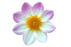 Blooming white pink flower with yellow pollen Royalty Free Stock Image