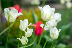 Blooming white and pink tulips against spring garden background Stock Images