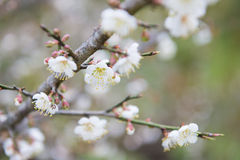 Blooming white plum blossom on a branch. Beautiful Stock Photography