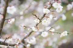Blooming white plum blossom on a branch. Beautiful Stock Images