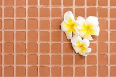 Blooming white plumeria or frangipani flowers on the brick floor. For home decoration concepts stock photo