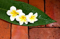 Blooming white Plumeria or Frangipani flowers on green leaf Royalty Free Stock Photography