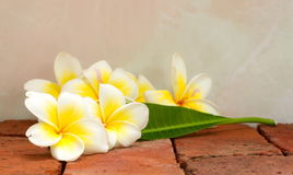 Blooming white Plumeria or Frangipani flowers and green leaf Stock Photos
