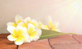 Blooming white Plumeria or Frangipani flowers and green leaf on Stock Photos