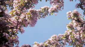 Blooming white and purple Japanese Sakura cherry blossoms in shallow depth of field against a blue sky Flowers on the. Blooming white and purple Japanese Sakura stock footage