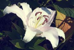 Blossoming white-red-pink lily flower in the garden Stock Photos