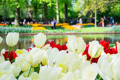 Blooming white and red tulips with park in the background in Keu Stock Image