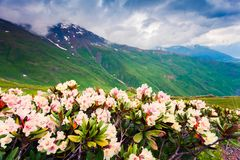Blooming white rhododendron flowers in the Caucasus mountains in stock images