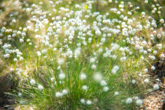 Blooming white Royalty Free Stock Photography