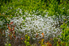 Blooming white Royalty Free Stock Photos
