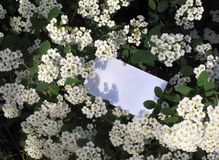Blooming white spiraea with place for text. stock images