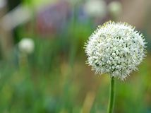 Blooming white spring onion flower in garden.  Stock Images