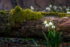 Blooming of White spring Snowflake in forest. Blooming of White spring Snowflake near the fallen tree in springtimeforest. Snowflake also called Summer Snowflake Royalty Free Stock Photography