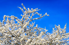 Blooming white spring tree against blue sky Royalty Free Stock Photos