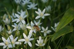 A blooming white star-of-Bethlehem in the garden. A bee sits on a flower. Sunset sun. A blooming white star-of-Bethlehem in the garden. Sunset sun stock photos
